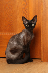 Cat breed Devon Rex sitting near the door