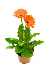 Gerbera in a flower pot on white background