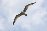 Ring-billed Gull, Larus delawarensis, in flight