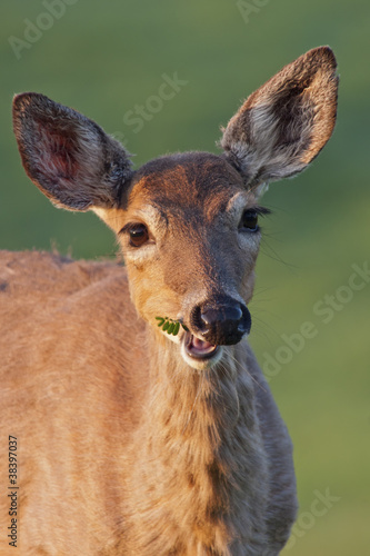 White-tailed Deer Chewing
