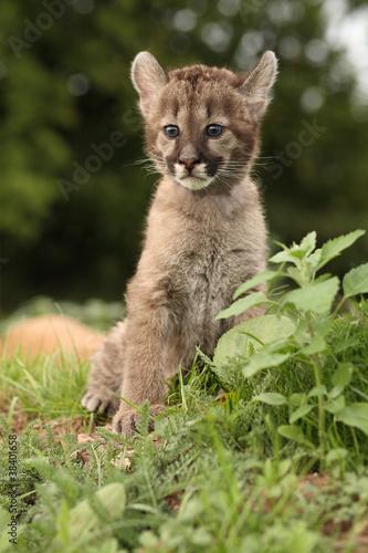 Foto op Plexiglas Puma Pumababy