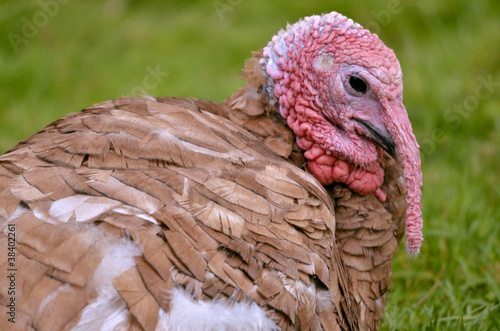 Portrait of female turkey viewed of profile