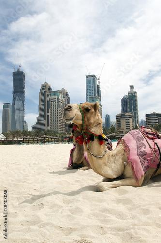 Aluminium Dubai Camel.