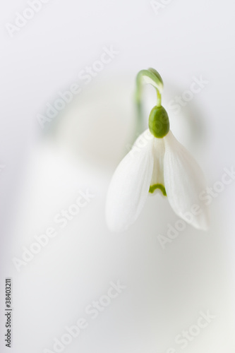 snowdrop in vase close-up