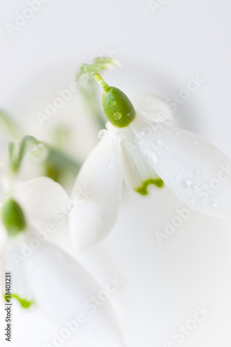 snowdrops in vase close-up