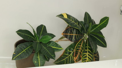 Cleaning Dust off a Houseplant with a Shower