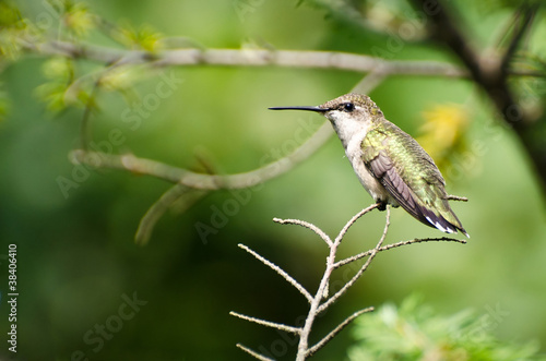 Ruby-Throated Hummingbird Perched in a Tree