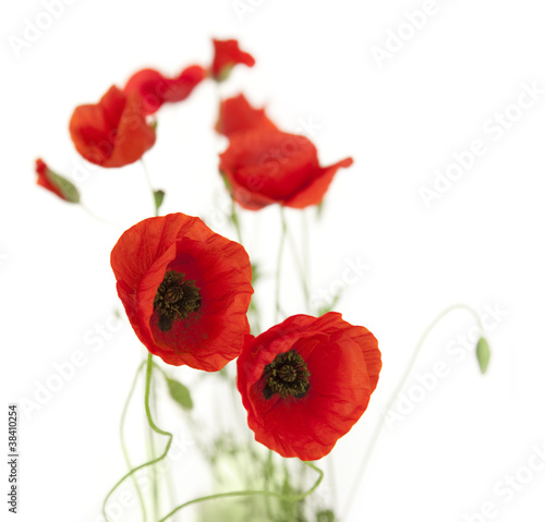 Natural Fresh Poppies isolated on white / focus on foreground