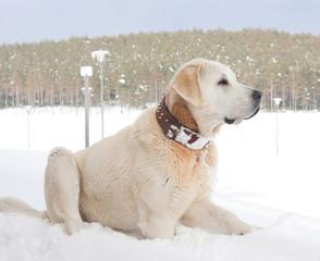 Famous Turkish breed Kangal dog