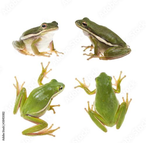 Foto op Canvas Kikker The American green tree frog (Hyla cinerea)