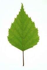 Birch Leaf 01