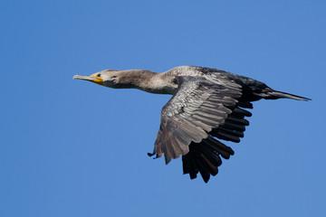 Double-crested Cormorant (Phalacrocorax auritus) in flight