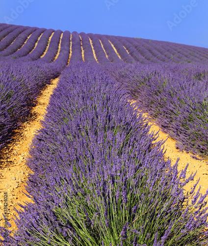 Lavender in the landscape - 38424024