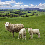 Sheep and wo lambs grazing on the picturesque landscape backgrou