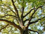 Fototapety Eiche Baumkrone Baum Natur