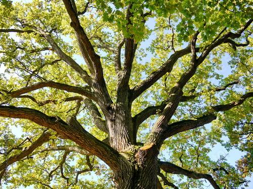 Eiche Baumkrone Baum Natur