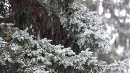Winter snowfall in the pine forest