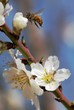 Bee gathering pollen from almond flowers.