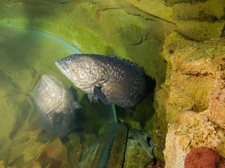 Giant grouper (Epinephelus lanceolatus), brindle bass