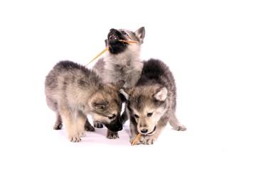 drei Wolfshund Welpen beim Fressen