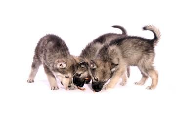drei Wolfshund Welpen bei Fütterung