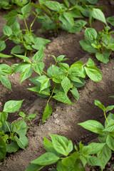 Haricots verts, jardin potager, légumes, planter, printemps