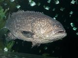 The Giant grouper (Epinephelus lanceolatus), brindle bass poster
