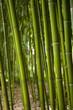 Bambous, asie, asiatique, forêt, végétation, végétal, vert