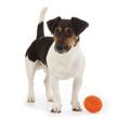 chien Jack Russel terrier jouant avec une balle