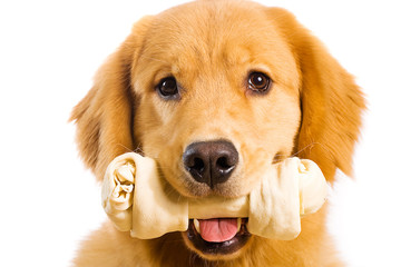 Happy Golden Retriever Dog eating a Rawhide Bone