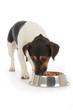chien Jack Russel terrier mangeant croquettes