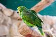 Parrot  (Fischer's Lovebird)
