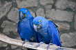 Couple of beautiful Blue and yellow macaws