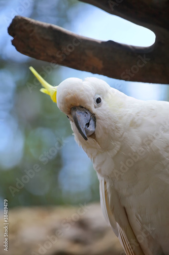 White and Yellow crested Cockatoo