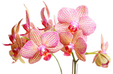 orchid on white