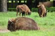 European bisons in Bialowieza, Poland