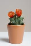 Kaktus in orange