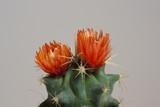 oranger Kaktus im Detail