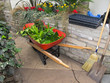 Red Wheelbarrow with garden refuse