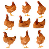 Set of brown chicken isolated on white