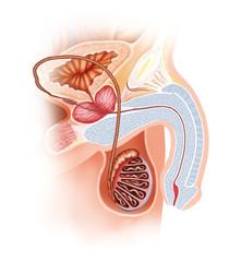male reproductive scheme