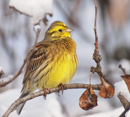 Yellowhammer on branch, Emberiza citrinella