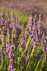 Close up of lavender flowers in a field