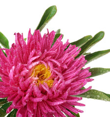 Pink China aster Isolated on white background