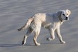 golden retriever marchant