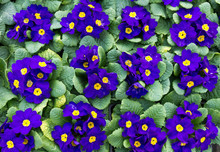 Grupa fioletowe kwitną pierwiosnki