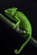 Green chameleon on bamboo