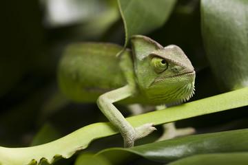 Green chameleon on flower