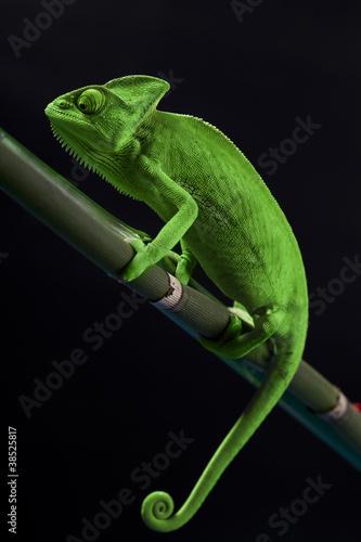 Foto op Plexiglas Kameleon Green chameleon on bamboo