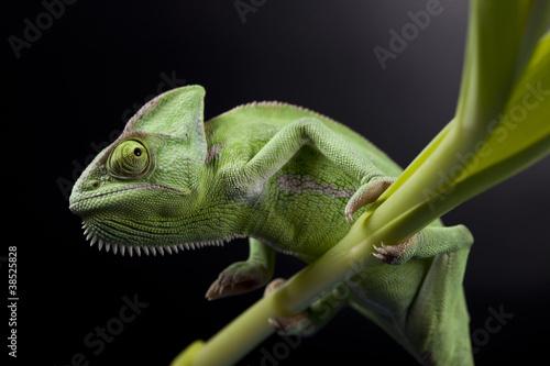 Staande foto Kameleon Green chameleon on flower